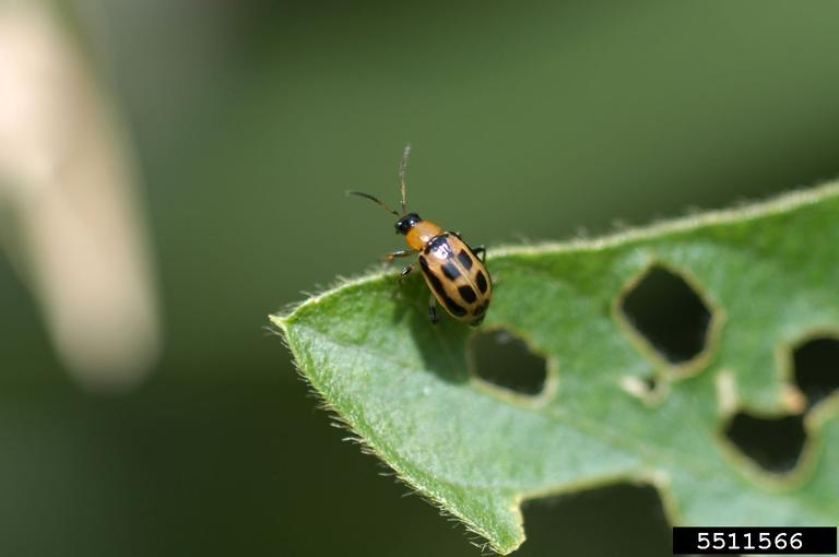 This image has an empty alt attribute; its file name is adult-bean-leaf-beetle-1.jpg